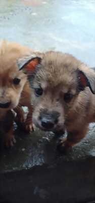 Cần bán chó con bắc hà lai Phú Quốc tại Hải Phòng