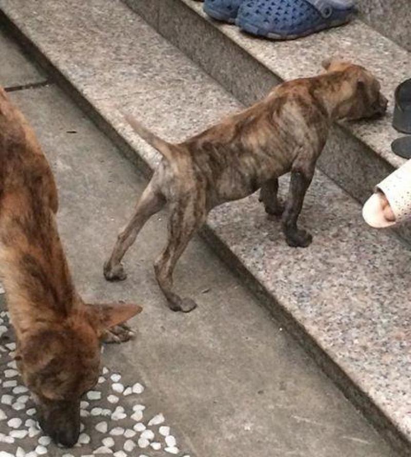 Bán Chó Phú Quốc con