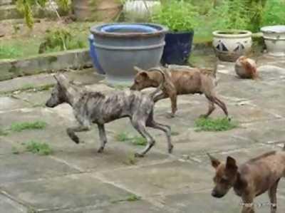 Cần bán chó phú quốc vện xoáy có giấy VKA 3 tháng