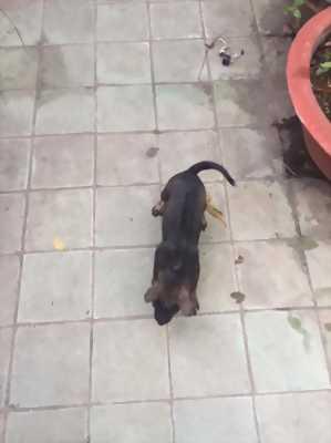 Bán chó Phú Quốc 2 tháng tuổi