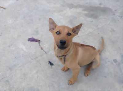 Bán chó Phú Quốc vàng đực 4, 5 tháng