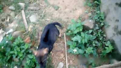 Bán nhanh chú chó Phú Quốc