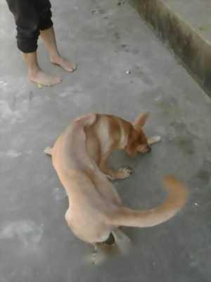 Cần bán chó Phú Quốc thuần