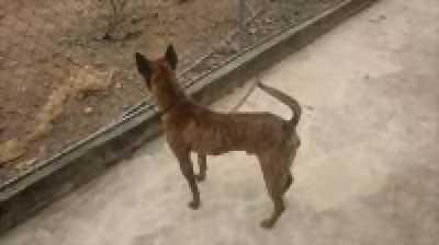 Cần bán chó Phú Quốc đực màu vện