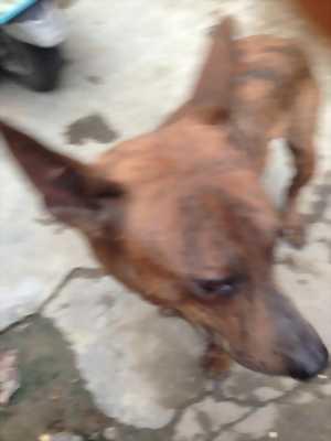 Cần bán con chó Phú Quốc