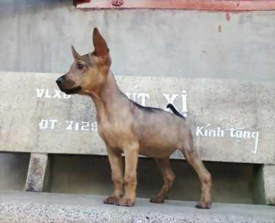 Chó Phú Quốc vện con 2 tháng tuổi
