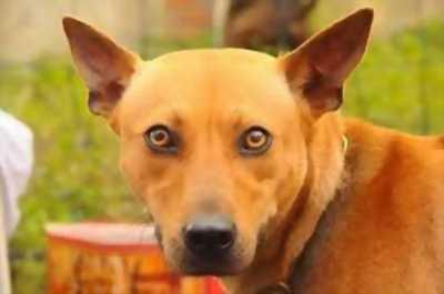 Cần bán chó phú quốc vàng đực