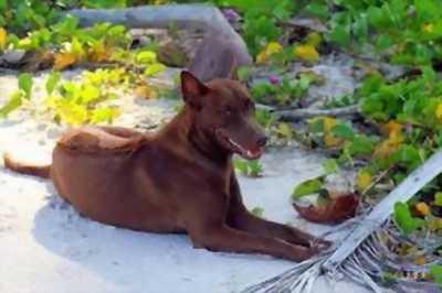 Cần bán chó phú quốc vện giống lưỡi đen thuộc giống phú quốc.