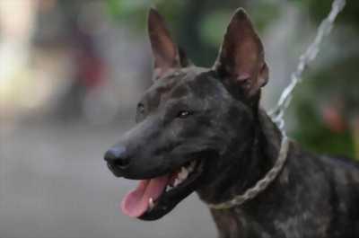 Cần bán chó Phú Quốc 05 tháng tuổi do phải đi du học