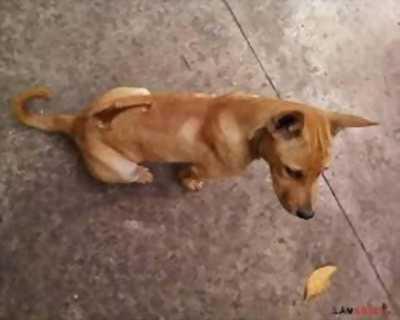 Cần bán em cún Phú Quốc lai tai cụp