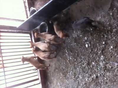 Bán chó Phú quốc con 5 em