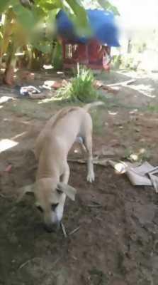 Bán nhanh chó Phú Quốc