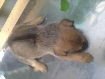 Bán cún con lai Phú Quốc