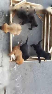 Mình cần bán đàn chó Phú Quốc lai Bec có xoáy