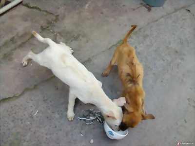Bán cún con Phú Quốc vện đẹp