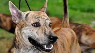 Cần bán chó phú quốc vện lửa thuần chủng