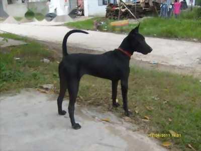 Bán chó Phú Quốc thuần chủng bảy tháng tuổi
