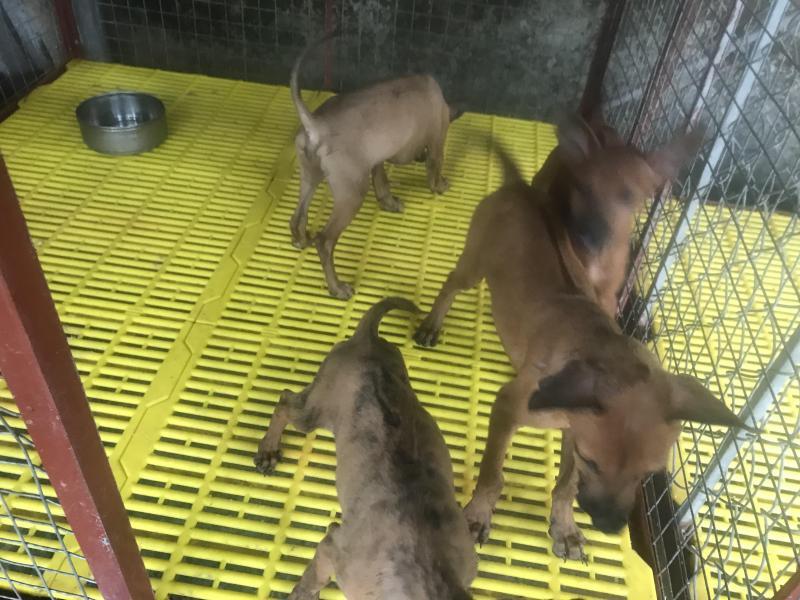 Cần Bán chó Phú Quốc Lưỡi đen 100%