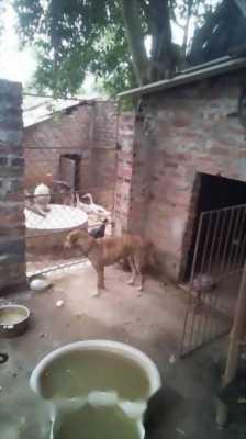 Bán chó Phú Quốc tám tháng tuổi