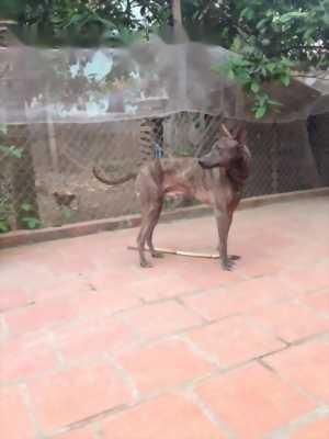 Bán chó Phú Quốc đực