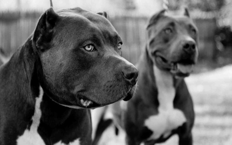 Địa chỉ bán chó Pitbull thuần chủng ở HCM