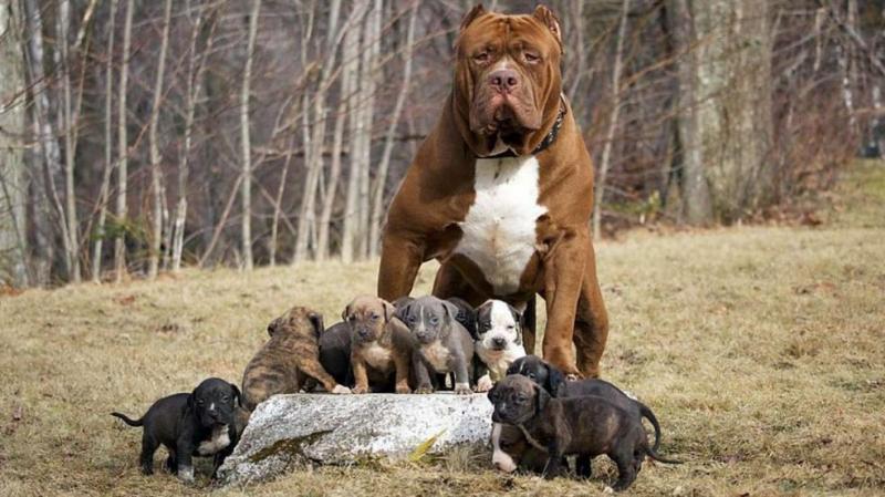 Địa điểm bán chó Pitbull thuần chủng giá rẻ