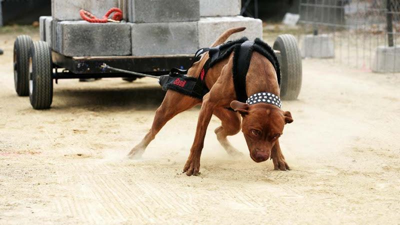 Cửa hàng và trại chó Pitbull HCM nổi tiếng nhất Việt Nam.