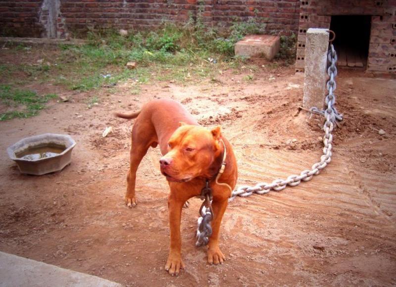 Trại chó Pitbull Ngọc Thuỵ và những điều bạn chưa biết về Pitbull