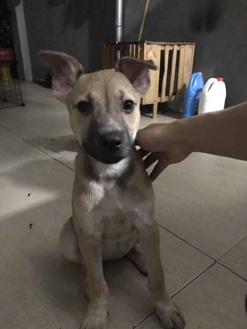 Pitbull vàng, cái 2 tháng tuổi