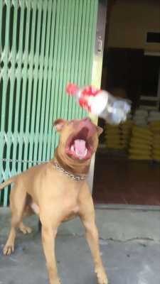 Bán chó Pitpull đực, khỏe, giống tốt, siêu nhanh nhẹn