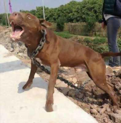 chó 35 k gần hai tuổi pitbull