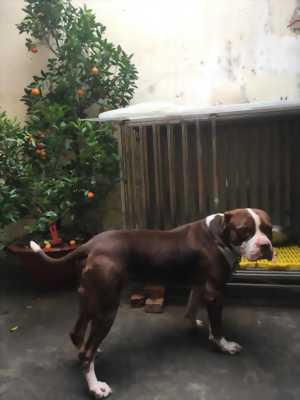 Bán chó Pitbull size đại!