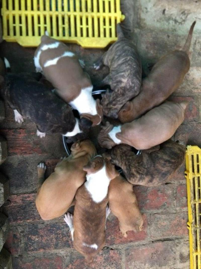 Bán đàn pitbull bố NHẬP MỸ, nhà nuôi