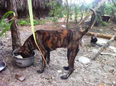 Chó pitbull con màu vện dòng đại chó bố mẹ 46kg