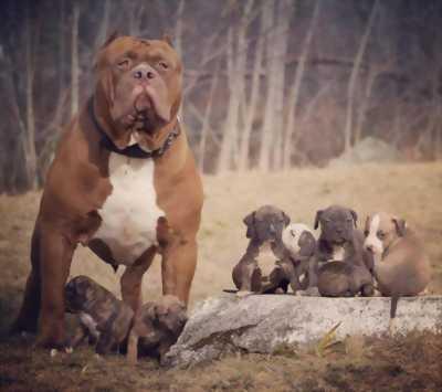 Pitbull chó nhà đẻ tại hà nội