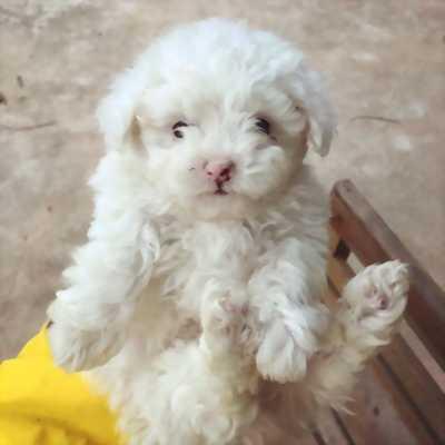 Chó Poodle Trắng Tiny
