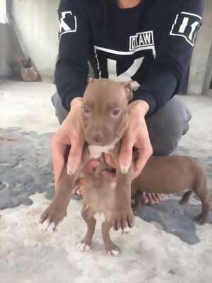 Pitbull size đại 3 tháng