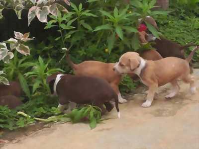 Chó con Pitbull 20 ngày tuổi