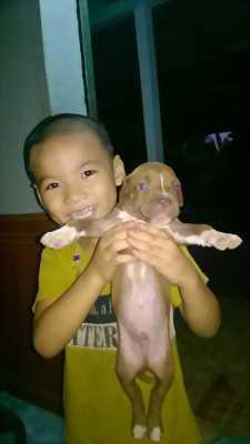 Cần bán chó Pitbull