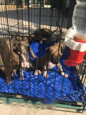 Cần bán chó Pitbull thuần chủng giá hữu nghị