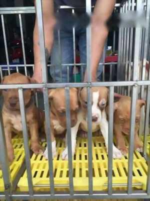 Cần bán lại chó Pitbull với giá mềm mại