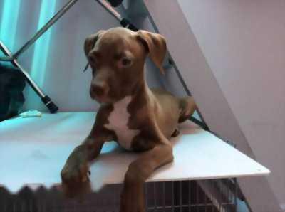 Pitbull 1 tháng tuổi cực đẹp cần tìm về nhà mới nha