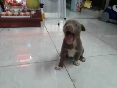 Mình đang có nhu cầu bán một chú chó lai Pitbull xinh yêu