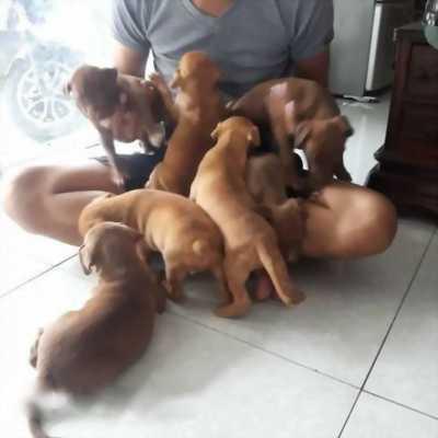 Cần bán em chó Pitbull 2 tháng tuổi, khỏe mạnh giá hữu nghị