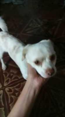 Mình cần nhượng lại em chó Pitbull lai màu trắng