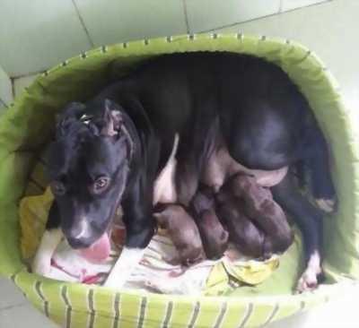 Cần bán lại chó pitbull cái, đẻ nhiều, ngoan ngoãn, khỏe mạnh, giá shock.