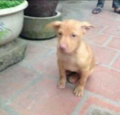 Cần nhượng lại chó pitbull khỏe mạnh, dễ nuôi, giá tốt.