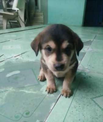 Cần nhượng lại chó Pitbull Phú Quốc giống cái, dễ nuôi, giá tốt.