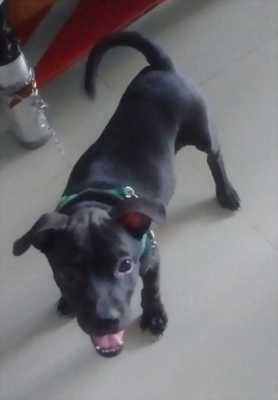 Cần nhượng lại 4 em chó pitbull, màu đen nâu tùy chọn, dễ nuôi, khỏe mạnh, giá hữu nghị