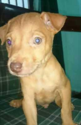 Cần nhượng lại chó Pitbull lai Phú Quốc, dễ nuôi, giá tốt.